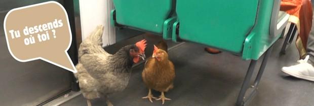 Intripid rend la liberté à des poules exploitées