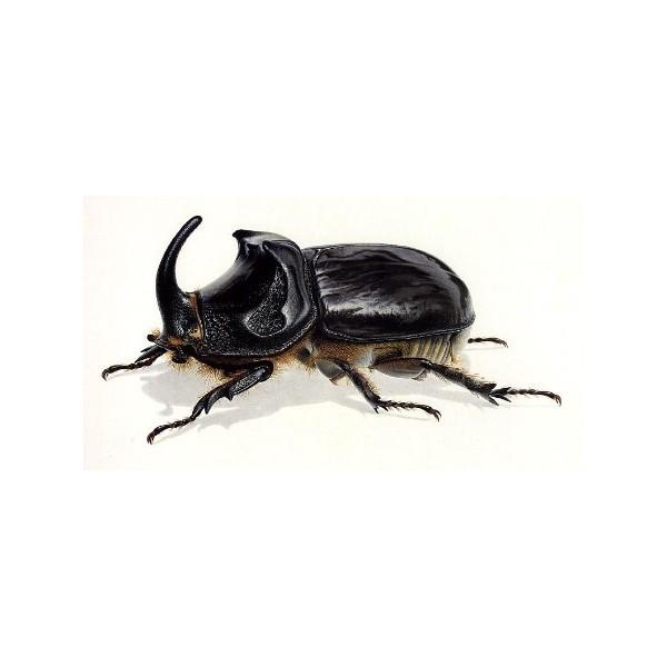 scarabee-rhinoceros