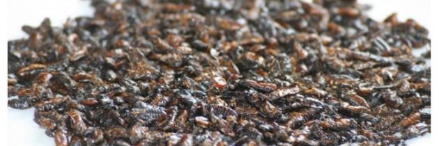 La nourriture du futur, les insectes comestibles !