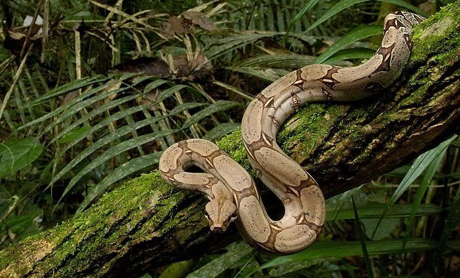 boa-constrictor-généralités-serpent-alimentation-maintenance-reproduction-caractère-comportement-NAC-détention-reptiles-animal-animaux-compagnie-animogen-3